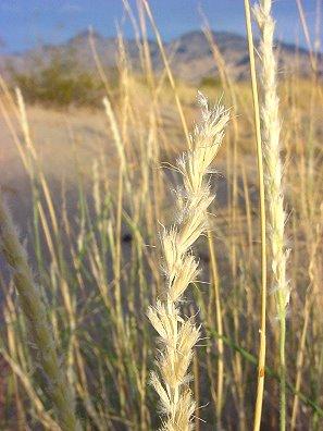 Big galleta grass