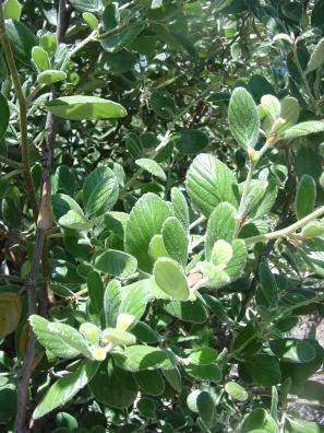 Cercocarpus Traskiae Catalina Island Mountain Mahogany Discover
