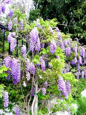 http://www.calflora.net/bloomingplants/images/chinesewisteria4.jpg