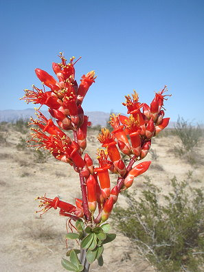 Ocotilla in bloom [photo copyright Michael L. Charters]