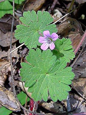 Roundleaf geranium